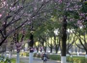 【梅花綻放】浙江舟山街頭的梅花。圖片攝於2019年1月19日。(新華社)