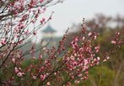 【梅花綻放】江蘇無錫市梅園的梅花。圖片攝於2019年1月20日。(新華社)