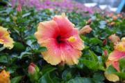 香港花卉展覽2019以「大紅花說願」為主題,大紅花色澤鮮艷,充滿生命力。(陳翠美攝)