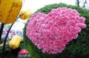 【香港花卉展覽2019】粉紅色康乃馨(陳翠美攝)