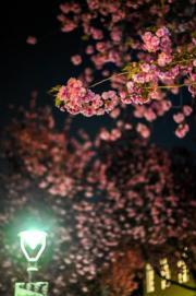 【世界各地賞櫻花】德國波恩天氣漸暖,櫻花盛開。(新華社,攝於2019年4月7日)