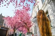 【世界各地賞櫻花】遊客在德國波恩拍攝櫻花盛開的情況。(新華社,攝於2019年4月8日)