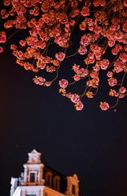 【世界各地賞櫻花】德國波恩櫻花盛開。(新華社,攝於2019年4月7日)