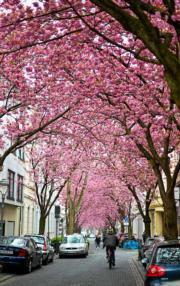 【世界各地賞櫻花】德國波恩櫻花盛開。(新華社,攝於2019年4月8日)