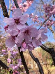 【世界各地賞櫻花】北京玉淵潭公園內櫻花盛開。(新華社,攝於2019年3月21日)
