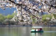 【世界各地賞櫻花】北京玉淵潭公園內櫻花盛開。(法新社,攝於2019年3月25日)