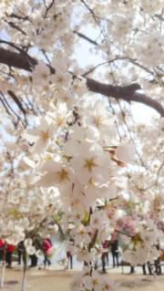 【世界各地賞櫻花】北京玉淵潭公園內櫻花盛開。(新華社,攝於2019年3月26日)