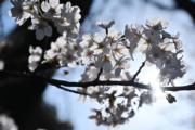 【世界各地賞櫻花】日本東京櫻花盛開。(法新社,攝於2019年3月26日)