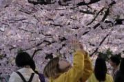 【世界各地賞櫻花】日本東京櫻花盛開,吸引大批遊人拍照。(法新社,攝於2019年3月27日)