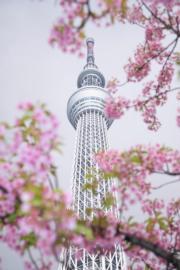 【世界各地賞櫻花】日本東京晴空塔附近的河津櫻花盛開。(新華社,攝於2019年3月16日)