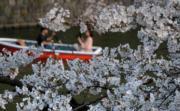 【世界各地賞櫻花】日本東京櫻花盛開,遊人乘船賞櫻。(法新社,攝於2019年3月27日)