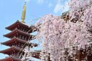 【世界各地賞櫻花】日本東京櫻花盛開,淺草寺在櫻花映襯下格外美觀。(法新社,攝於2019年3月27日)