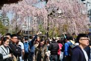 【世界各地賞櫻花】日本東京櫻花盛開。(法新社,攝於2019年3月27日)