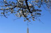 【世界各地賞櫻花】美國華盛頓紀念碑附近的櫻花盛開。(法新社,攝於2019年3月27日)