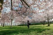 【世界各地賞櫻花】法國斯特拉斯堡(Strasbourg)歐洲議會總部前的櫻花盛開。(新華社,2019年3月26日)
