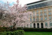 【世界各地賞櫻花】比利時布魯塞爾王宮旁的櫻花盛開。(新華社,攝於2019年3月20日)