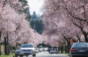 【世界各地賞櫻花】加拿大溫哥華櫻花盛開。(新華社,攝於2019年3月28日)