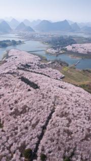【世界各地賞櫻花】貴州省貴安新區櫻花觀光園櫻花盛放,在無人機拍攝下,只見地上一片粉紅。(新華社,攝於2019年3月19日)