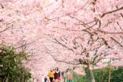 【世界各地賞櫻花】重慶櫻花(新華社,攝於2019年2月16日)