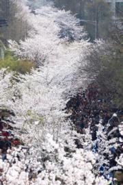 【世界各地賞櫻花】南京雞鳴寺路櫻花盛放。(新華社,攝於2019年3月23日)