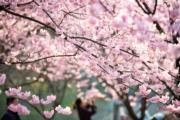 【世界各地賞櫻花】南京中山植物園櫻花綻放。(新華社,攝於2019年3月14日)