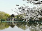 【世界各地賞櫻花】杭州西湖櫻花綻放。(中新社,攝於2019年3月23日)
