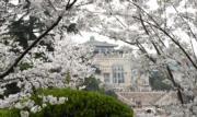 【世界各地賞櫻花】武漢大學的櫻花與建築互相輝映。(新華社,攝於2019年3月23日)