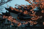 【世界各地賞櫻花】南京雞鳴寺路櫻花盛開。(新華社,攝於2019年3月21日)