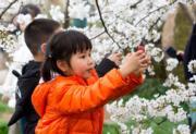 【世界各地賞櫻花】武漢東湖櫻園櫻花盛開,吸引小朋友拍照。(新華社,攝於2019年3月23日)
