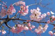 【世界各地賞櫻花】日本東京櫻花(法新社,攝於2018年3月17日)