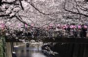 【世界各地賞櫻花】日本東京櫻花盛開。(法新社,攝於2018年3月23日)