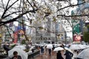 【世界各地賞櫻花】日本東京櫻花(法新社,攝於2018年3月21日)