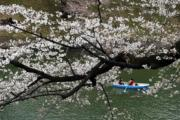 【世界各地賞櫻花】日本東京櫻花盛開。(新華社,攝於2018年3月23日)
