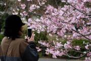 【世界各地賞櫻花】日本東京櫻花(法新社,攝於2018年3月19日)