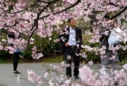 【世界各地賞櫻花】日本東京櫻花(法新社,攝於 2018年3月19日)