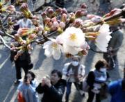 【世界各地賞櫻花】日本東京靖國神社的櫻花(法新社,攝於2018年3月17日)