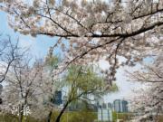 【世界各地賞櫻花】韓國汝矣島櫻花(Iris Wong攝於2017年)