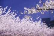 【世界各地賞櫻花】上海櫻花(新華社)