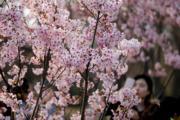 【世界各地賞櫻花】北京玉淵潭公園櫻花(中新社)