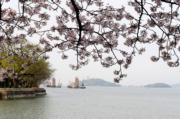 【世界各地賞櫻花】無錫太湖櫻花(新華社)