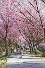 【世界各地賞櫻花】台灣武陵農場櫻花(台灣觀光協會圖片)