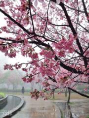 【世界各地賞櫻花】台灣陽明山櫻花(資料圖片)