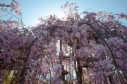 【世界各地賞櫻花】日本京都櫻花(資料圖片)