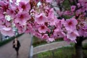 【世界各地賞櫻花】日本東京櫻花(法新社)
