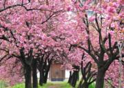 【世界各地賞櫻花】韓國忠清南道七甲山八重櫻(韓國觀光公社圖片)