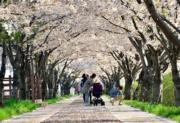 【世界各地賞櫻花】韓國釜山三樂江邊公園櫻花(韓國觀光公社圖片)