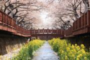 【世界各地賞櫻花】韓國慶尚南道鎮海櫻花(韓國觀光公社圖片)