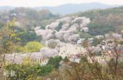 【世界各地賞櫻花】韓國京畿道Seoul Land櫻花(韓國觀光公社圖片)