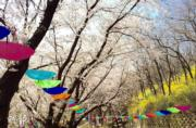 【世界各地賞櫻花】韓國京畿道富川櫻花(韓國觀光公社圖片)