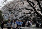 【世界各地賞櫻花】日本東京櫻花盛開。圖片攝於2019年3月27日。(法新社)